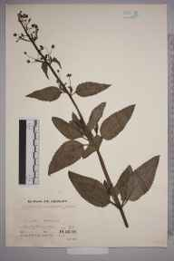 Scrophularia umbrosa herbarium specimen from Compton Abdale, VC33 East Gloucestershire in 1935 by Mr Job Edward Lousley.