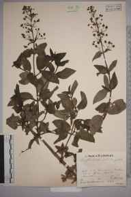 Scrophularia umbrosa herbarium specimen from Malvern, VC37 Worcestershire in 1933 by Mr Job Edward Lousley.
