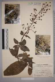 Scrophularia umbrosa herbarium specimen from Scoulton, VC28 West Norfolk in 1934 by Mr Job Edward Lousley.