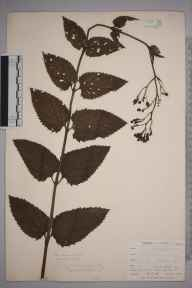 Scrophularia nodosa herbarium specimen from Liskeard, VC2 East Cornwall in 1900 by Mr Allan Octavian Hume.