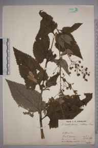 Scrophularia nodosa herbarium specimen from Alfriston, VC14 East Sussex in 1931 by Mr Job Edward Lousley.