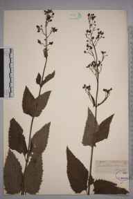Scrophularia nodosa herbarium specimen from Lewes, VC14 East Sussex in 1845 by Joseph Woods.