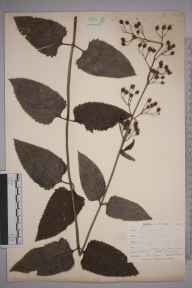 Scrophularia nodosa herbarium specimen from Saint Mary Cray, VC16 West Kent in 1898 by Mr Allan Octavian Hume.