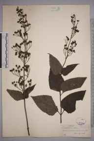 Scrophularia nodosa herbarium specimen from Barcombe, VC14 East Sussex in 1845 by Joseph Woods.