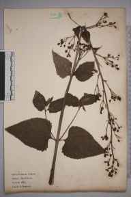 Scrophularia nodosa herbarium specimen from Shinfield, VC22 Berkshire in 1921 by William Robert Sherrin.
