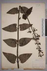 Scrophularia nodosa herbarium specimen from Hessenford, VC2 East Cornwall in 1900 by Mr Allan Octavian Hume.
