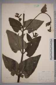 Scrophularia nodosa herbarium specimen from Downe, VC16 West Kent in 1900 by William Henry Griffin.