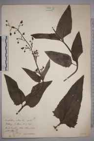 Scrophularia nodosa herbarium specimen from Kildary, VC106 East Ross & Cromarty in 1891 by Rev. Edward Shearburn Marshall.