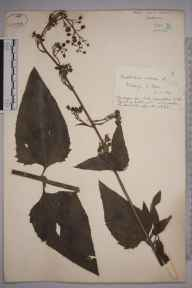 Scrophularia nodosa herbarium specimen from Invergordon, VC106 East Ross & Cromarty in 1891 by Rev. Edward Shearburn Marshall.