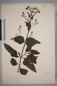 Scrophularia nodosa herbarium specimen from West Looe, VC2 East Cornwall in 1900 by Mr Allan Octavian Hume.