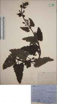 Scrophularia scorodonia herbarium specimen from Saint Agnes, Scilly, VC1 West Cornwall in 1862.