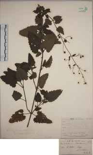Scrophularia scorodonia herbarium specimen from Jersey, Saint Peters, VC113 Channel Islands in 1842 by Rev. William Williamson Newbould.