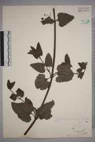 Scrophularia scorodonia herbarium specimen from Jersey, VC113 Channel Islands in 1926 by .