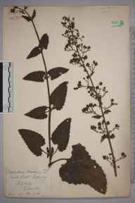 Scrophularia scorodonia herbarium specimen from Guernsey,Moulin Huet Bay, VC113 Channel Islands in 1889 by Margaret Dawber.