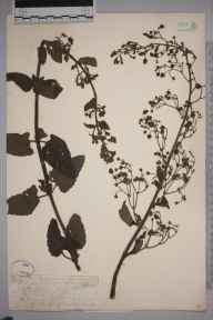 Scrophularia scorodonia herbarium specimen from Penzance, VC1 West Cornwall in 1862 by Mr Frederick Townsend.