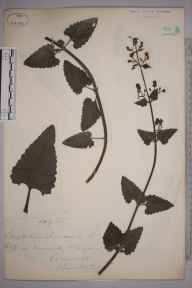 Scrophularia scorodonia herbarium specimen from Mousehole, VC1 West Cornwall in 1872 by Mr William Hadden Beeby.
