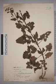 Scrophularia scorodonia herbarium specimen from Newquay, VC1 West Cornwall in 1903 by Alfred Loydell.