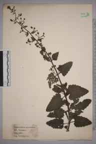 Scrophularia scorodonia herbarium specimen from Par, VC2 East Cornwall in 1921 by William Robert Sherrin.