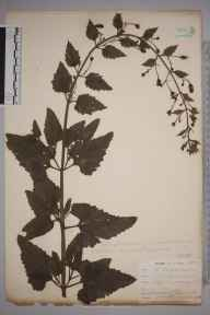 Scrophularia scorodonia herbarium specimen from Ponsanooth, VC1 West Cornwall in 1901 by Mr Allan Octavian Hume.