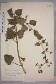 Scrophularia vernalis herbarium specimen from Nottingham, VC56 Nottinghamshire in 1932 by John Wesley Carr.