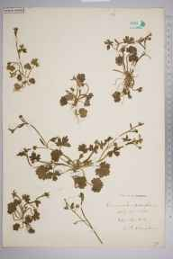 Ranunculus parviflorus herbarium specimen from Eggington, VC30 Bedfordshire in 1894 by S A Chambers.