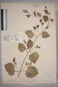 Scrophularia vernalis herbarium specimen from Stiffkey, VC28 West Norfolk in 1902 by Mr James Groves.