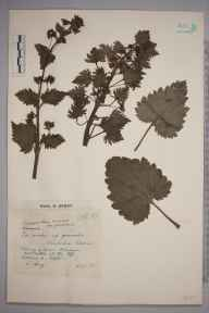 Scrophularia vernalis herbarium specimen from Wimbledon Common, VC17 Surrey in 1943 by Charles Avery.