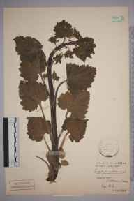 Scrophularia vernalis herbarium specimen from Dedham, VC19 North Essex in 1908 by H S.