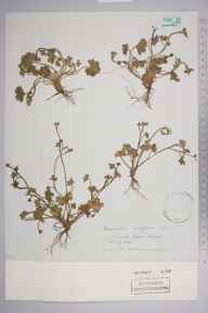 Ranunculus parviflorus herbarium specimen from Malvern, Barnard's Green, VC37 Worcestershire in 1886 by Robert Russell Hutchinson.