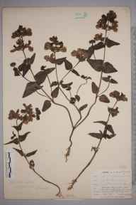 Collinsia heterophylla herbarium specimen from Dousland, VC3 South Devon in 1902 by Mr Allan Octavian Hume.