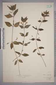 Mimulus moschatus herbarium specimen from Thornhill, VC41 Glamorganshire in 1934 by Mr Isaac A Helsby.