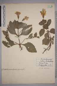 Mimulus moschatus herbarium specimen from Wheathampstead, VC20 Hertfordshire in 1936 by S M Gaster.
