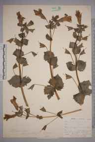 Mimulus moschatus herbarium specimen from Saint Ives, VC1 West Cornwall in 1900 by Mr Frederick Hamilton Davey.