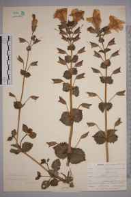 Mimulus moschatus herbarium specimen from Lostwithiel, VC2 East Cornwall in 1901 by Mr Allan Octavian Hume.