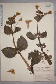 Mimulus guttatus herbarium specimen from Edenbridge, VC16 West Kent in 1927 by Mr Job Edward Lousley.