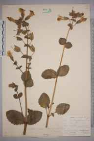 Mimulus guttatus herbarium specimen from Maenporth, VC1 West Cornwall in 1901 by Mr Frederick Hamilton Davey.