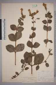 Mimulus guttatus herbarium specimen from Westerham, VC16 West Kent in 1909 by N Griffin.