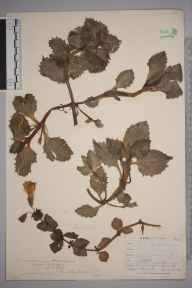 Mimulus guttatus herbarium specimen from Westerham, VC16 West Kent in 1909 by William Henry Griffin.