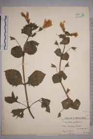 Mimulus guttatus herbarium specimen from Friday Street, VC17 Surrey in 1923 by Mr Edward Charles Wallace.