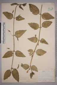 Mimulus  herbarium specimen from Ponsanooth, VC1 West Cornwall in 1901 by Mr Frederick Hamilton Davey.