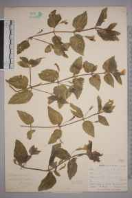 Mimulus  herbarium specimen from Ponsanooth, VC1 West Cornwall in 1900 by Mr Frederick Hamilton Davey.