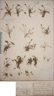 Limosella aquatica herbarium specimen from Bardon Hill, VC55 Leicestershire in 1843.