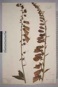 Digitalis purpurea herbarium specimen from Kings Langley, VC20 Hertfordshire in 1922.