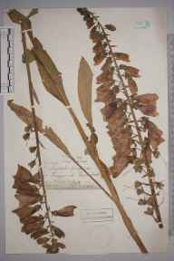 Digitalis purpurea herbarium specimen from Kingswood, VC17 Surrey in 1882 by Ernest Straker.