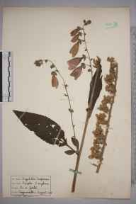 Digitalis purpurea herbarium specimen from Teignmouth, VC3 South Devon in 1935.