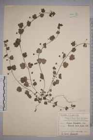Veronica hederifolia herbarium specimen from Raynes Park, VC17 Surrey in 1907 by Mr Charles Edward Britton.