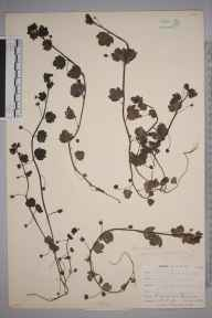 Veronica hederifolia herbarium specimen from Penzance, VC1 West Cornwall in 1899 by Mr Allan Octavian Hume.
