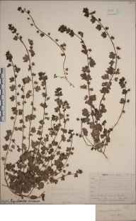 Veronica hederifolia herbarium specimen from Lewes, VC14 East Sussex in 1852 by Joseph Woods.