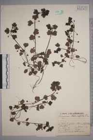 Veronica hederifolia herbarium specimen from Burghfield, VC22 Berkshire in 1930 by Mr Job Edward Lousley.