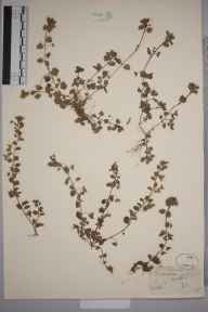 Veronica polita herbarium specimen from Lizard, VC1 West Cornwall in 1862 by Mr Frederick Townsend.